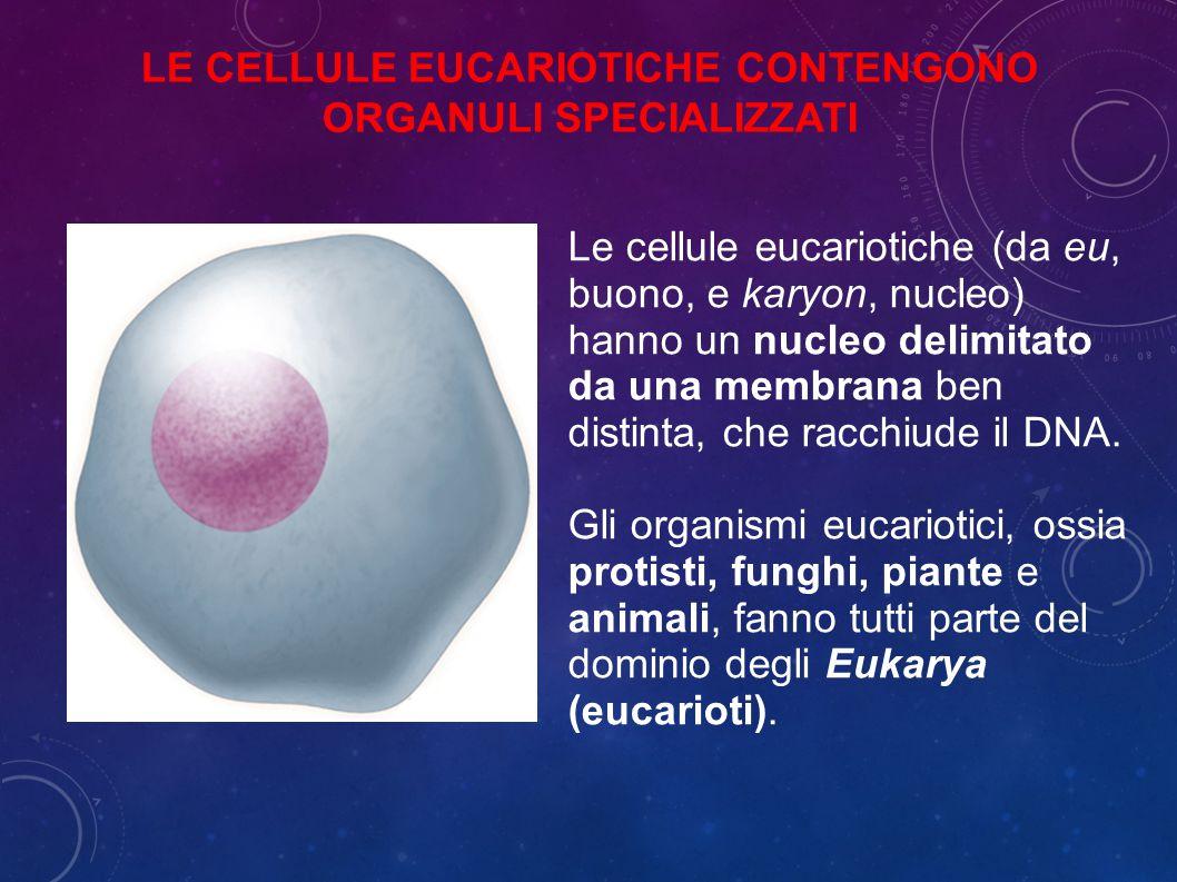 Le cellule eucariotiche (da eu, buono, e karyon, nucleo) hanno un nucleo delimitato da una membrana ben distinta, che racchiude il DNA.