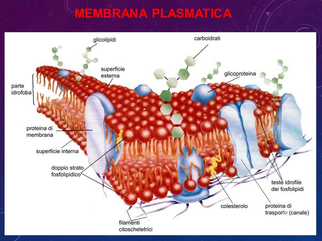 MEMBRANA PLASMATICA 15