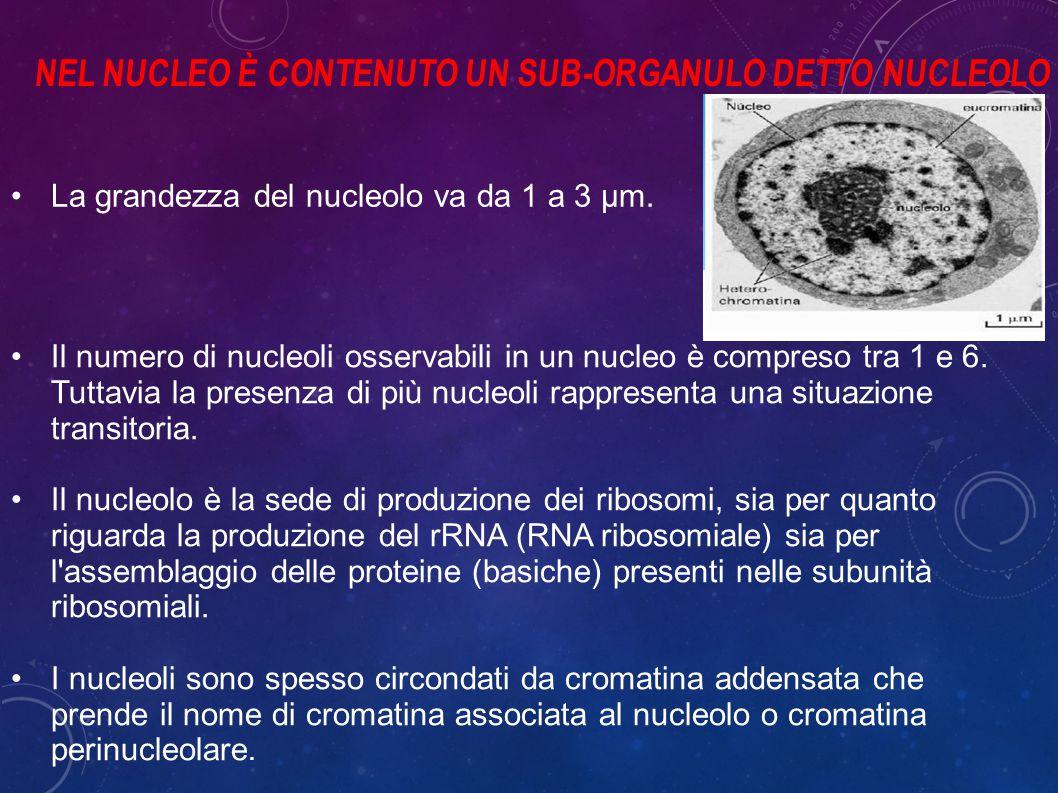 La grandezza del nucleolo va da 1 a 3 µm.