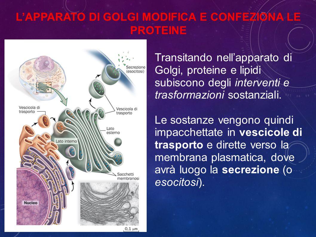 Transitando nell'apparato di Golgi, proteine e lipidi subiscono degli interventi e trasformazioni sostanziali.