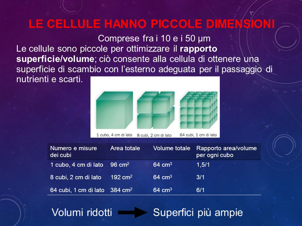 Comprese fra i 10 e i 50 μm Le cellule sono piccole per ottimizzare il rapporto superficie/volume; ciò consente alla cellula di ottenere una superficie di scambio con l'esterno adeguata per il passaggio di nutrienti e scarti.