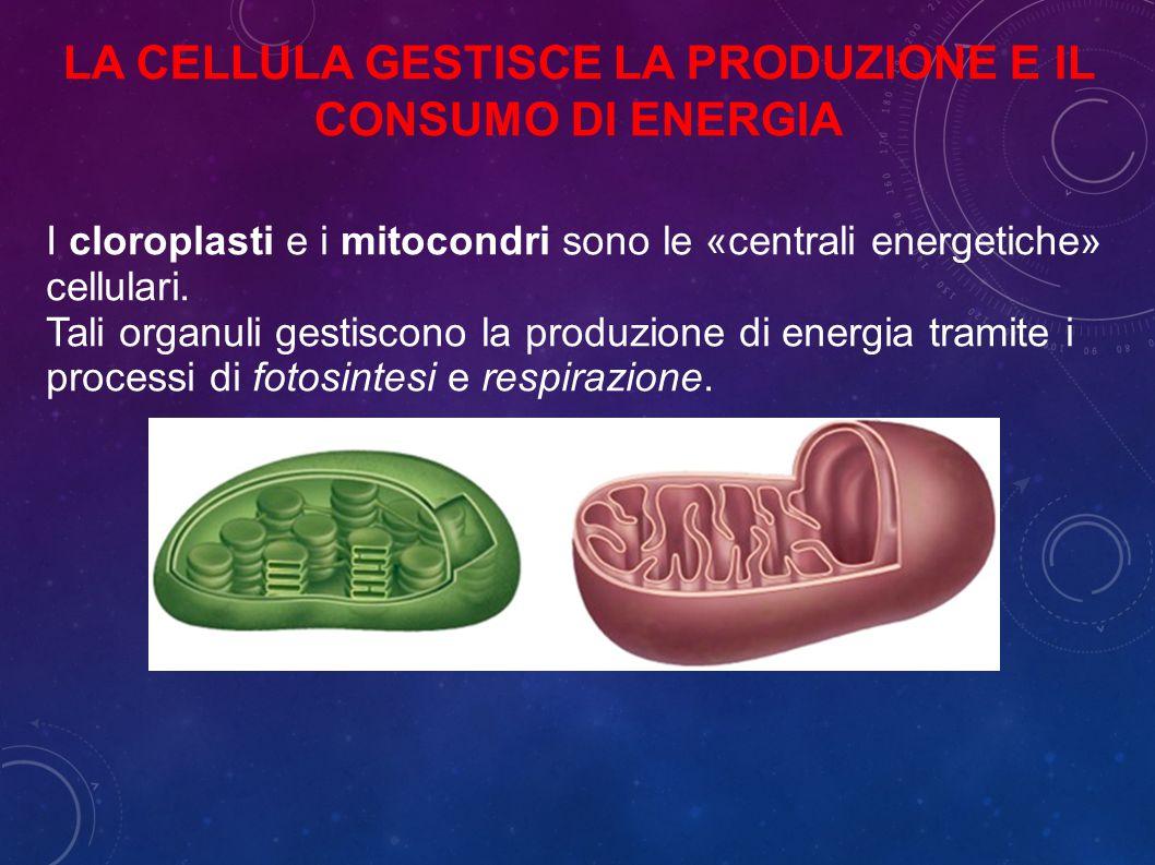 I cloroplasti e i mitocondri sono le «centrali energetiche» cellulari.