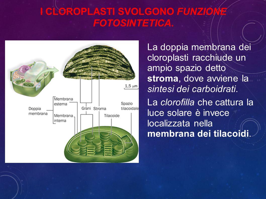 La doppia membrana dei cloroplasti racchiude un ampio spazio detto stroma, dove avviene la sintesi dei carboidrati.