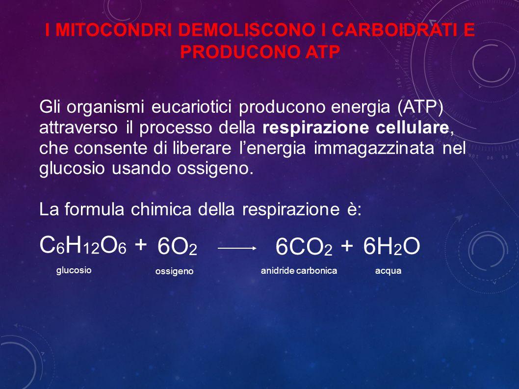 I MITOCONDRI DEMOLISCONO I CARBOIDRATI E PRODUCONO ATP Gli organismi eucariotici producono energia (ATP) attraverso il processo della respirazione cellulare, che consente di liberare l'energia immagazzinata nel glucosio usando ossigeno.