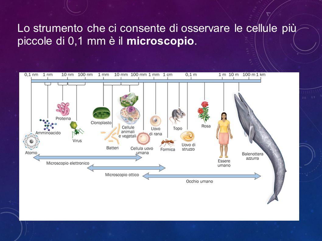 IL GOLGI È COSTITUITO DA TRE TIPI DI STRUTTURE DIVERSE: Vescicole Transfer, piccole vescicole con diametro di 80-100 nm tramite le quali pervengono al Golgi le biomolecole da elaborare.