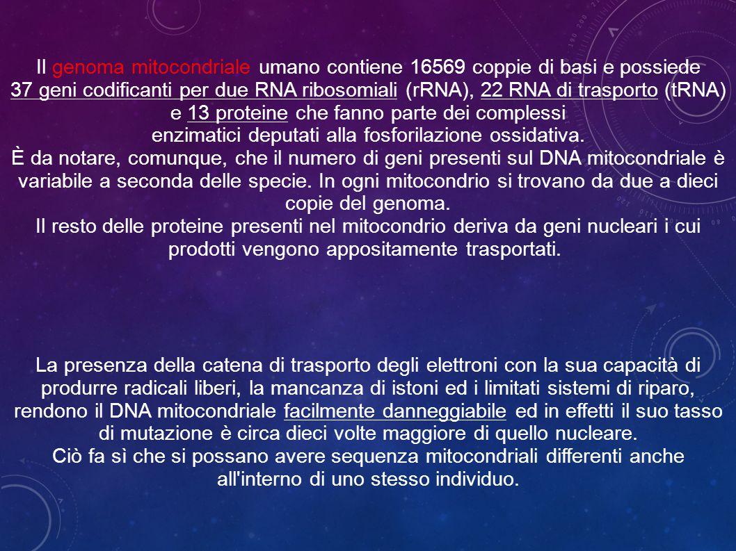 Il genoma mitocondriale umano contiene 16569 coppie di basi e possiede 37 geni codificanti per due RNA ribosomiali (rRNA), 22 RNA di trasporto (tRNA) e 13 proteine che fanno parte dei complessi enzimatici deputati alla fosforilazione ossidativa.