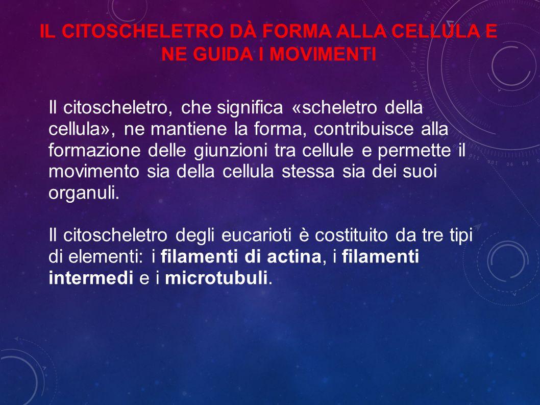 Il citoscheletro, che significa «scheletro della cellula», ne mantiene la forma, contribuisce alla formazione delle giunzioni tra cellule e permette il movimento sia della cellula stessa sia dei suoi organuli.