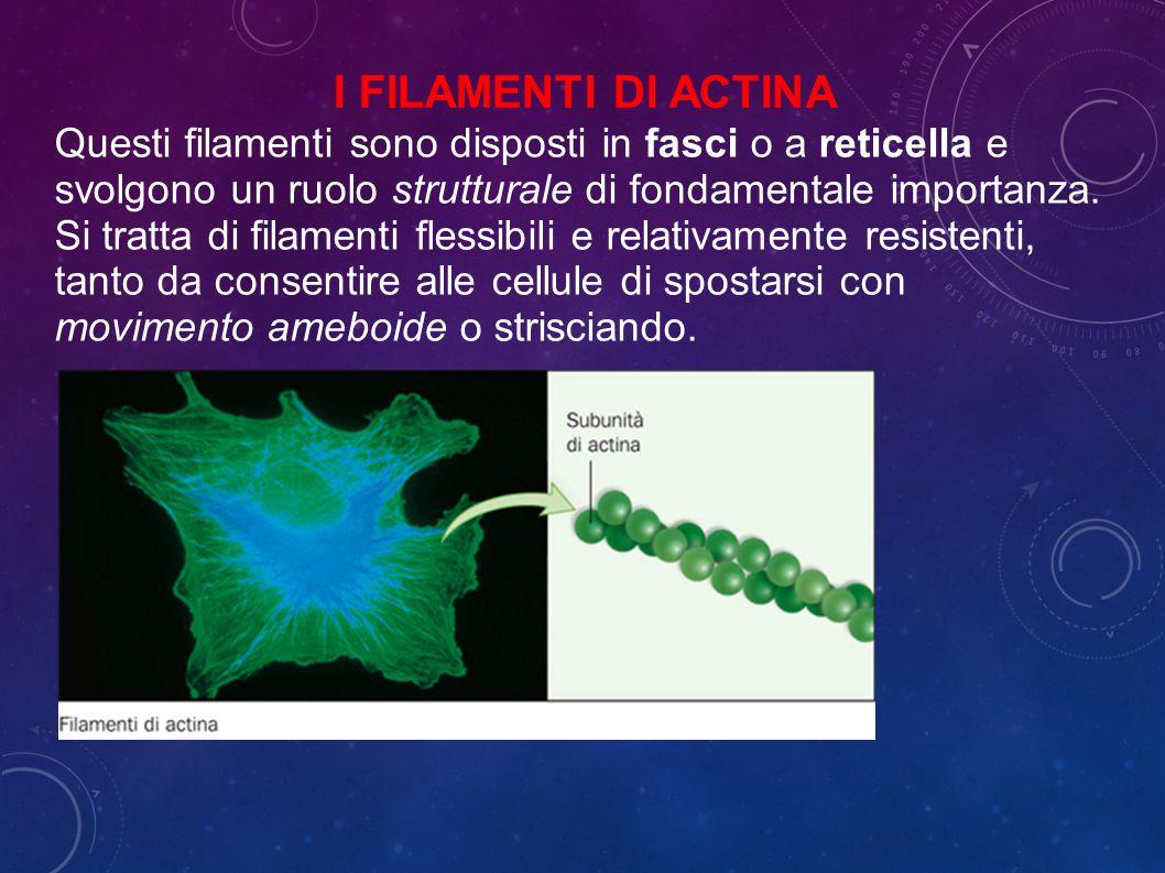 Questi filamenti sono disposti in fasci o a reticella e svolgono un ruolo strutturale di fondamentale importanza.