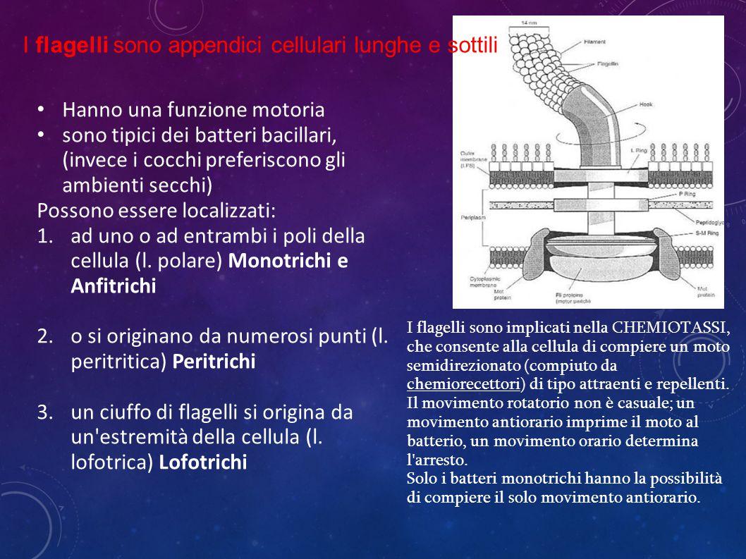 Hanno una funzione motoria sono tipici dei batteri bacillari, (invece i cocchi preferiscono gli ambienti secchi) Possono essere localizzati: 1.ad uno o ad entrambi i poli della cellula (l.