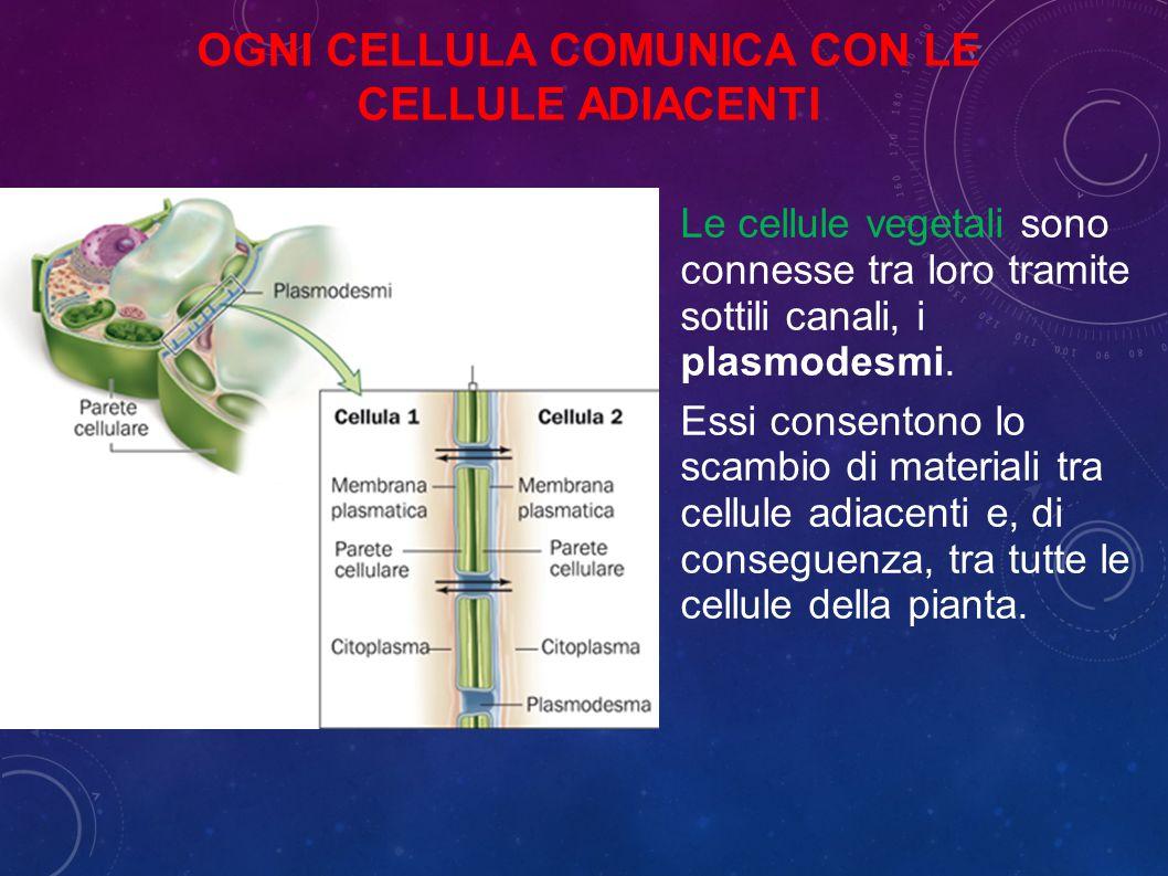 OGNI CELLULA COMUNICA CON LE CELLULE ADIACENTI Le cellule vegetali sono connesse tra loro tramite sottili canali, i plasmodesmi.
