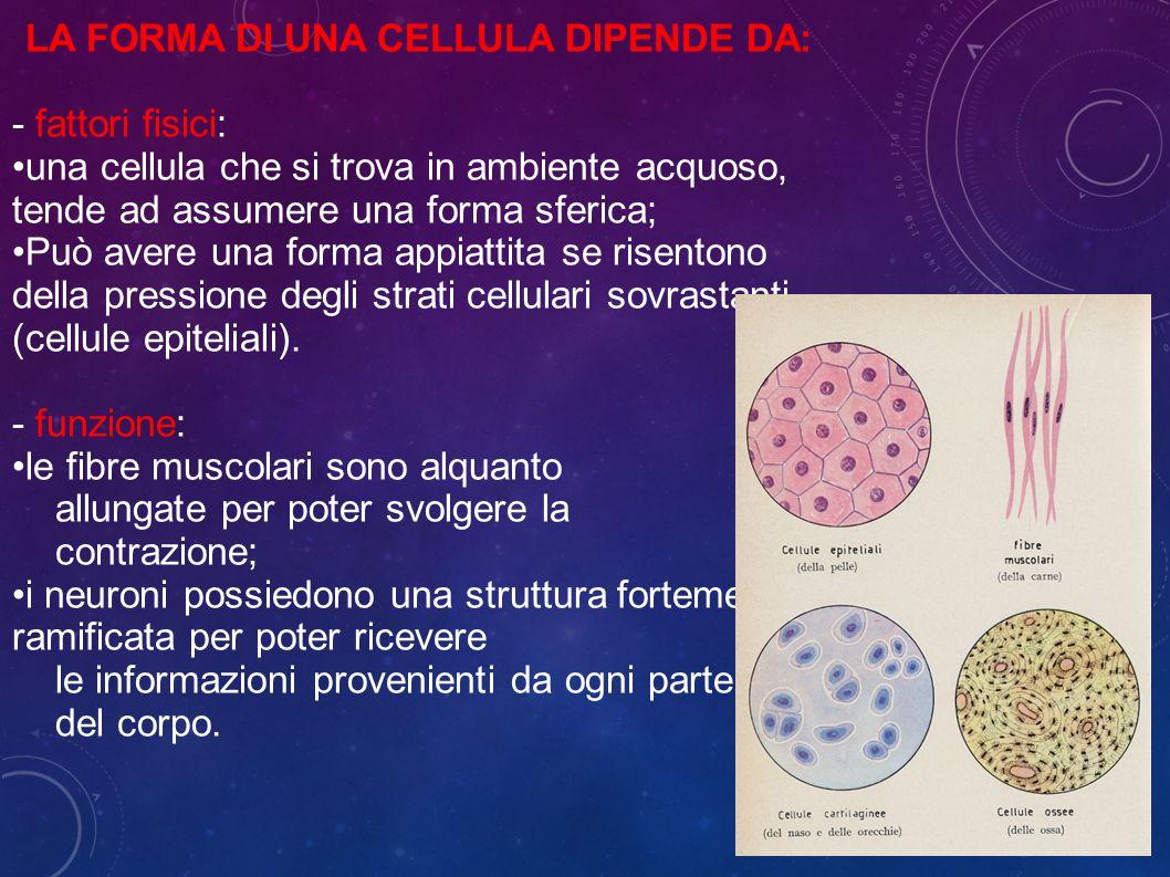 LA FORMA DI UNA CELLULA DIPENDE DA: - fattori fisici: una cellula che si trova in ambiente acquoso, tende ad assumere una forma sferica; Può avere una forma appiattita se risentono della pressione degli strati cellulari sovrastanti (cellule epiteliali).