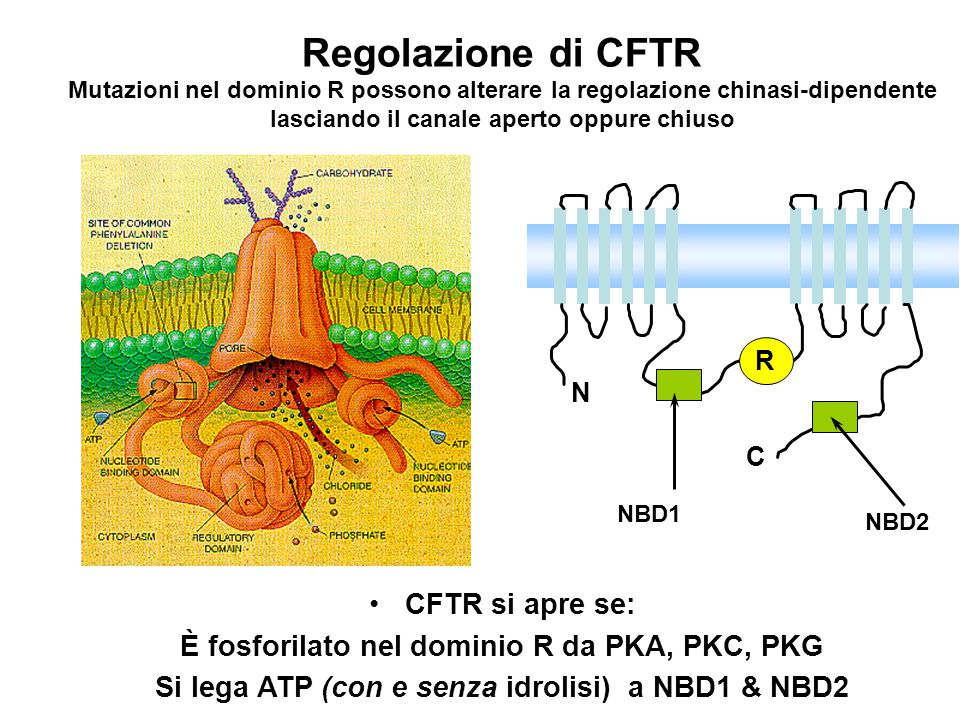 N C R NBD1 NBD2 CFTR si apre se: È fosforilato nel dominio R da PKA, PKC, PKG Si lega ATP (con e senza idrolisi) a NBD1 & NBD2 Regolazione di CFTR Mut