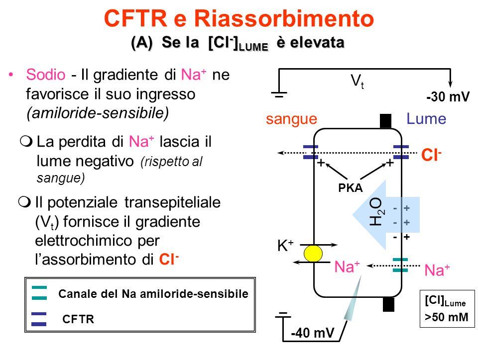 CFTR e Riassorbimento (A) Se la [Cl - ] LUME è elevata [Cl] Lume >50 mM Sodio - Il gradiente di Na + ne favorisce il suo ingresso (amiloride-sensibile