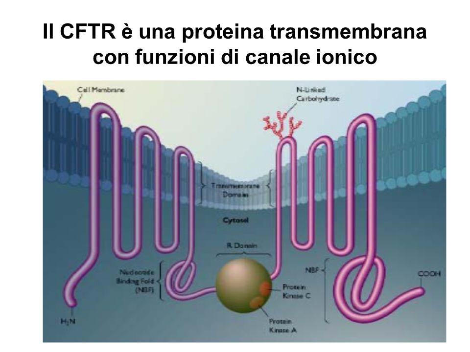 La proteina: CFTR Cystic Fibrosis Transmembrane Conductance Regulator è il nome della proteina che ha la funzione di canale dei cloruri cioè permette il passaggio del cloro attraverso la membrana cellulare a spese di ATP.