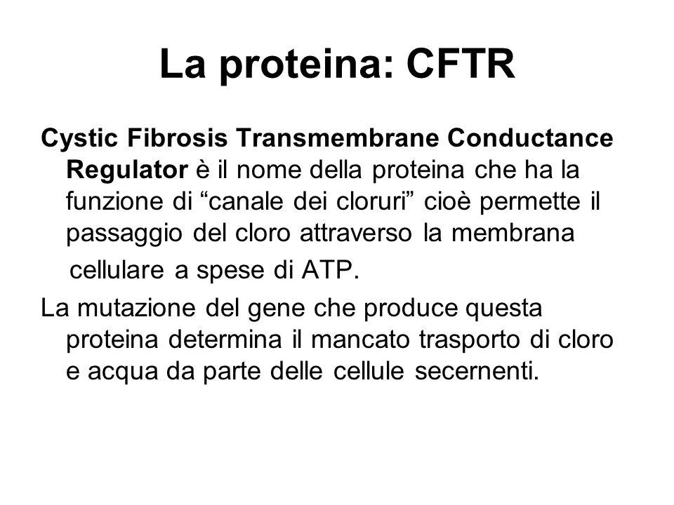 CFTR espresso in: polmone (bassa densità) rene (alta densità) ghiandole salivari ghiandole sudoripare intestino cuore testicoli In cellule normali:  CFTR forma una conduttanza per il Cl -  Determina la perdita di Cl- e la secrezione di fluidi  Determina il riassorbimento di Cl- dai dotti salivari e sudoripari.