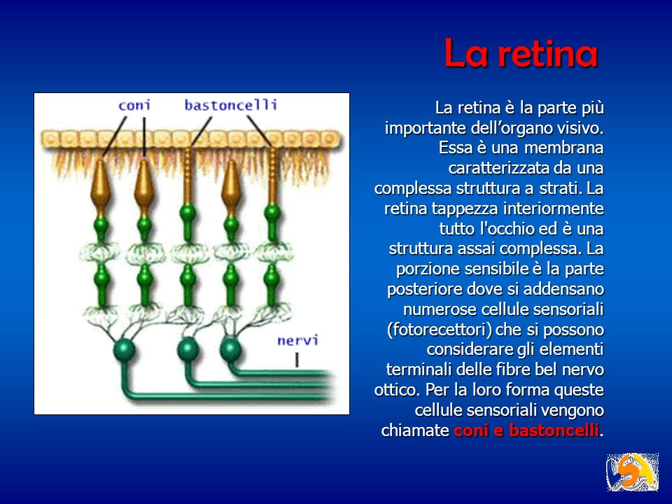 La retina La retina è la parte più importante dellorgano visivo. Essa è una membrana caratterizzata da una complessa struttura a strati. La retina tap