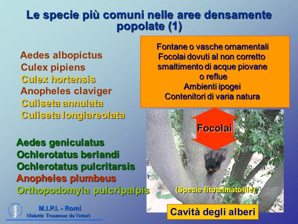 Malattie Trasmesse da Vettori M.I.P.I. - Romi Le specie più comuni nelle aree densamente popolate (1) Aedes albopictus Culex pipiens Culex hortensis A