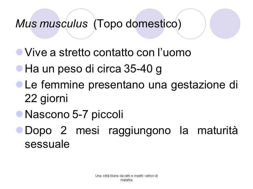 Mus musculus (Topo domestico) Vive a stretto contatto con luomo Ha un peso di circa 35-40 g Le femmine presentano una gestazione di 22 giorni Nascono