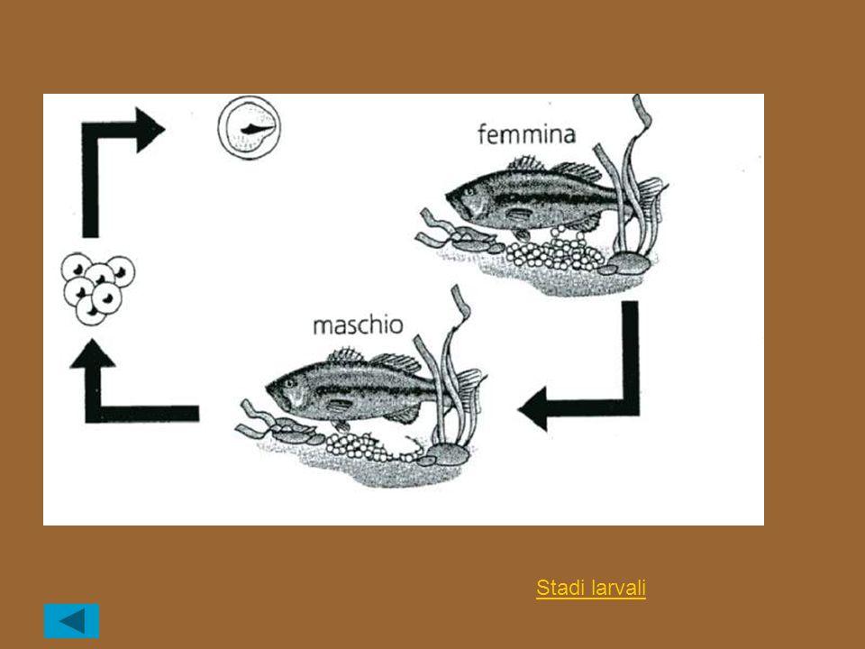 Stadi larvali