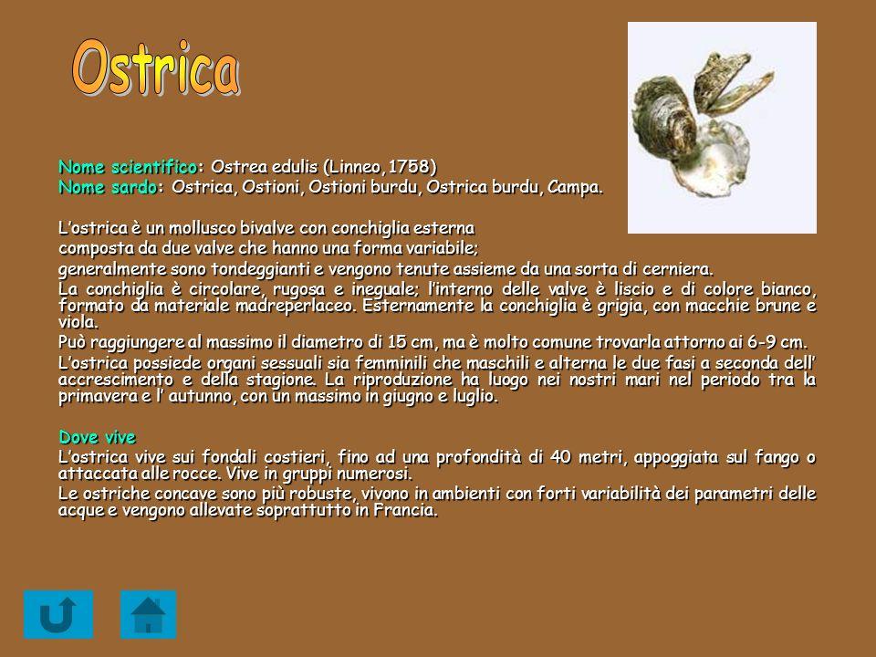 Nome scientifico: Ostrea edulis (Linneo, 1758) Nome sardo: Ostrica, Ostioni, Ostioni burdu, Ostrica burdu, Campa. Lostrica è un mollusco bivalve con c