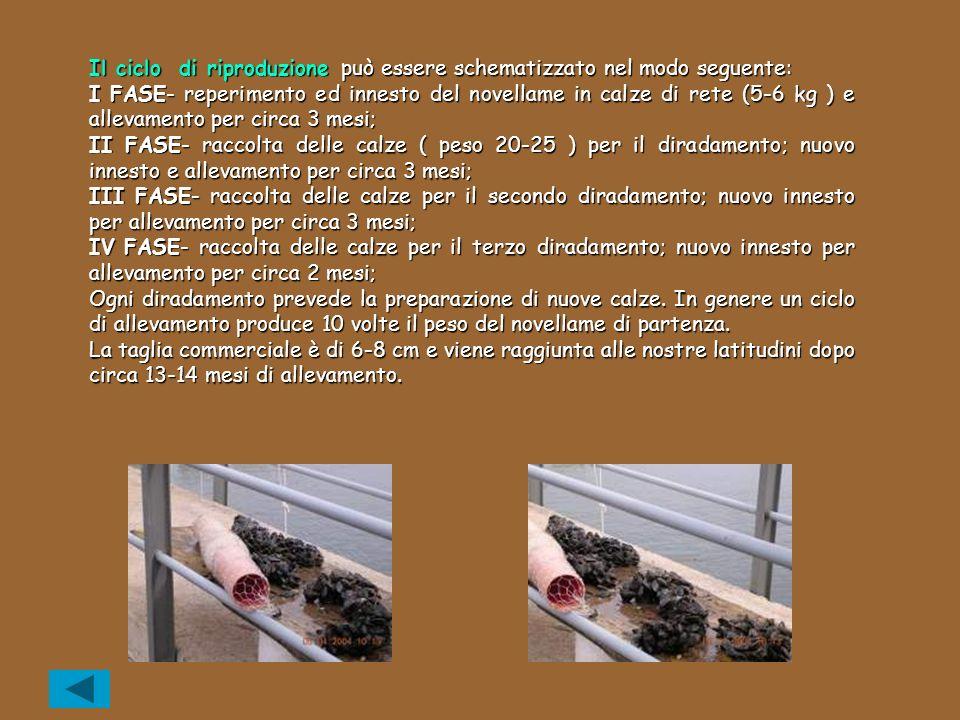 Il ciclo di riproduzione può essere schematizzato nel modo seguente: I FASE- reperimento ed innesto del novellame in calze di rete (5-6 kg ) e allevam