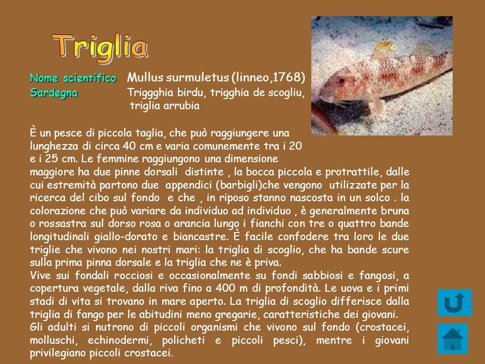 Nome scientifico Nome scientifico Mullus surmuletus (linneo,1768) Sardegna SardegnaTriggghia birdu, trigghia de scogliu, triglia arrubia È un pesce di