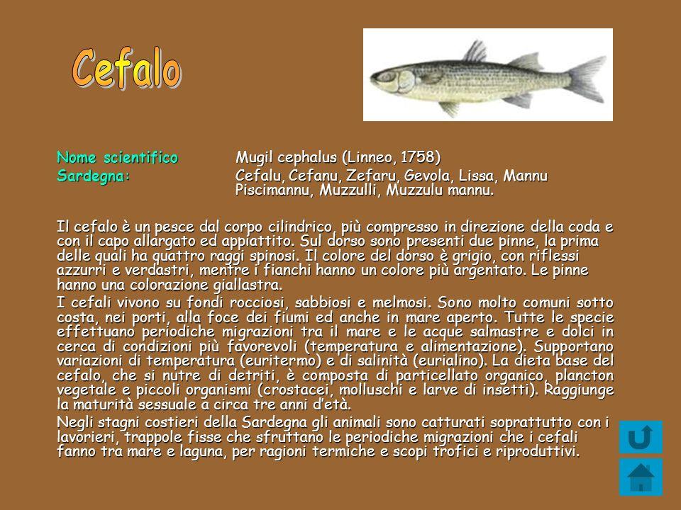 Nome scientifico Mugil cephalus (Linneo, 1758) Sardegna: Cefalu, Cefanu, Zefaru, Gevola, Lissa, Mannu Piscimannu, Muzzulli, Muzzulu mannu. Il cefalo è