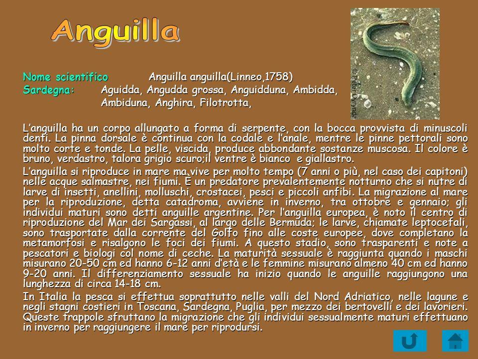 Nome scientifico Anguilla anguilla(Linneo,1758) Sardegna:Aguidda, Angudda grossa, Anguidduna, Ambidda, Ambiduna, Anghira, Filotrotta, Languilla ha un