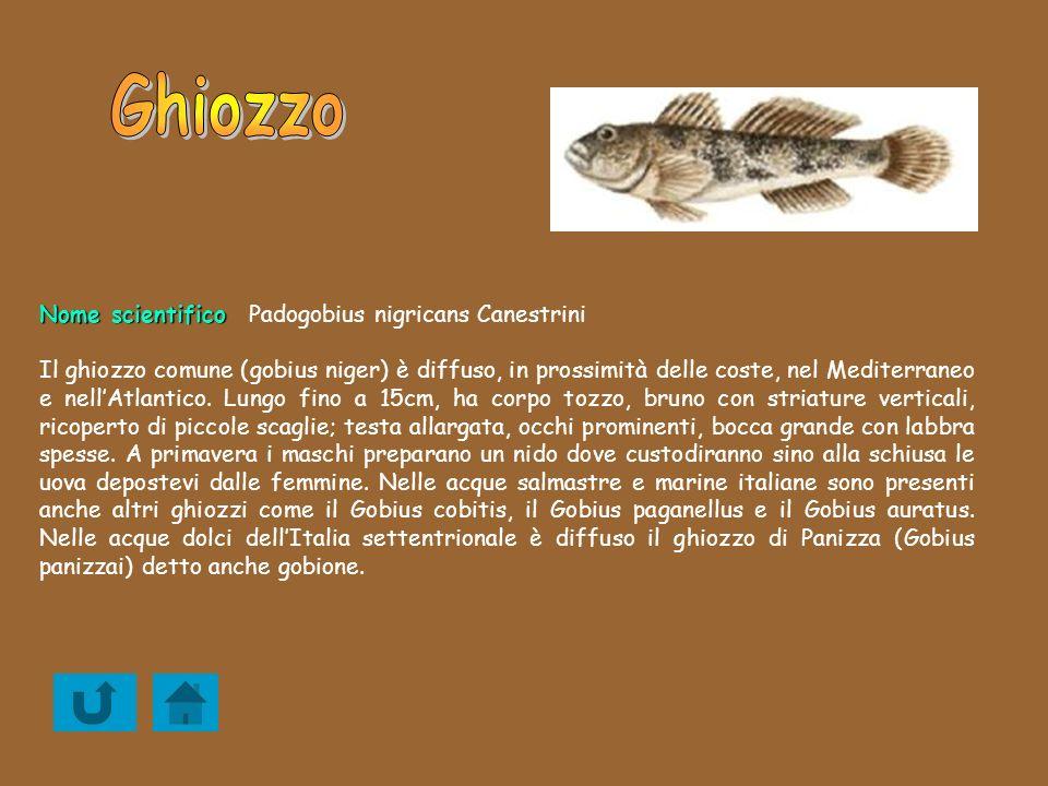 Nome scientifico Nome scientificoPadogobius nigricans Canestrini Il ghiozzo comune (gobius niger) è diffuso, in prossimità delle coste, nel Mediterran