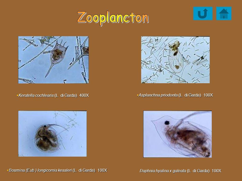 Keratella cochlearis (L. di Garda). 400X Keratella cochlearis (L. di Garda). 400X Asplanchna priodonta (L. di Garda). 100X Asplanchna priodonta (L. di