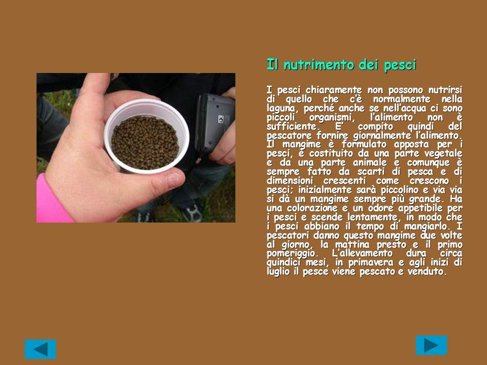 Come si alleva Lostrica utilizzata ai fini dellacquacoltura è lostrica giapponese perché ha una crescita molto più veloce.