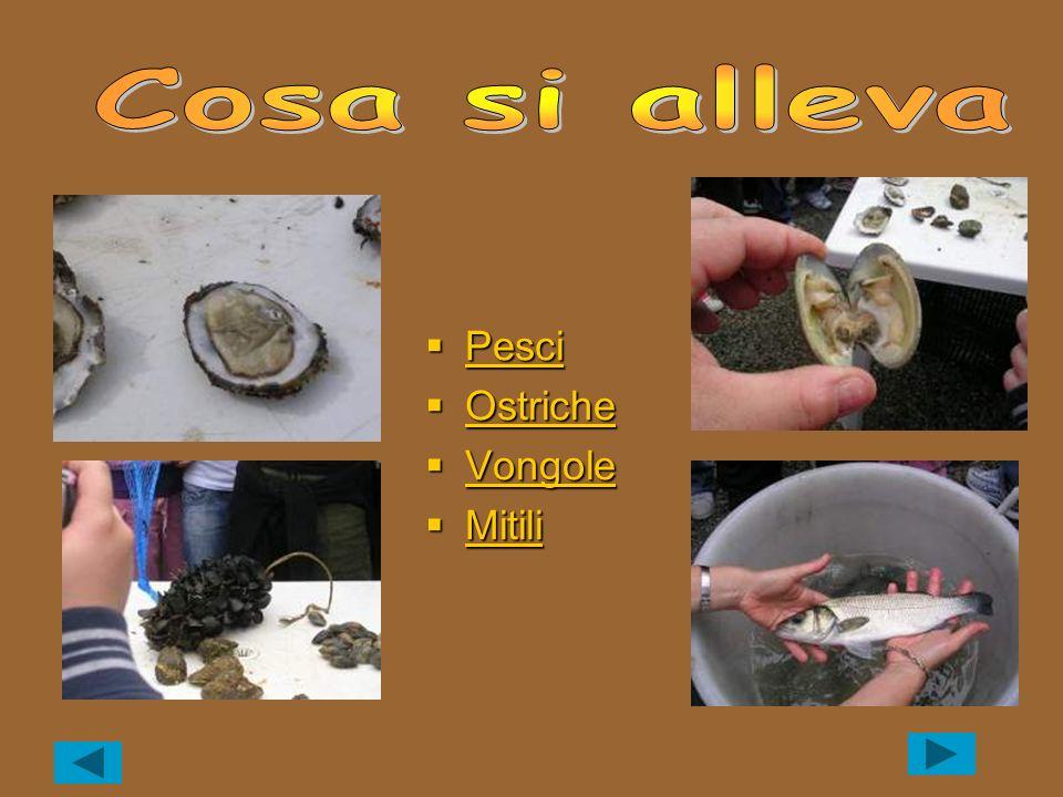 Orate Orate Orate Spigole Spigole Spigole Altri pesci Altri pesci Altri pesci Altri pesci Caratteristiche generali I pesci sono dei vertebrati, cioè presentano una colonna vertebrale, e hanno uno scheletro osseo.