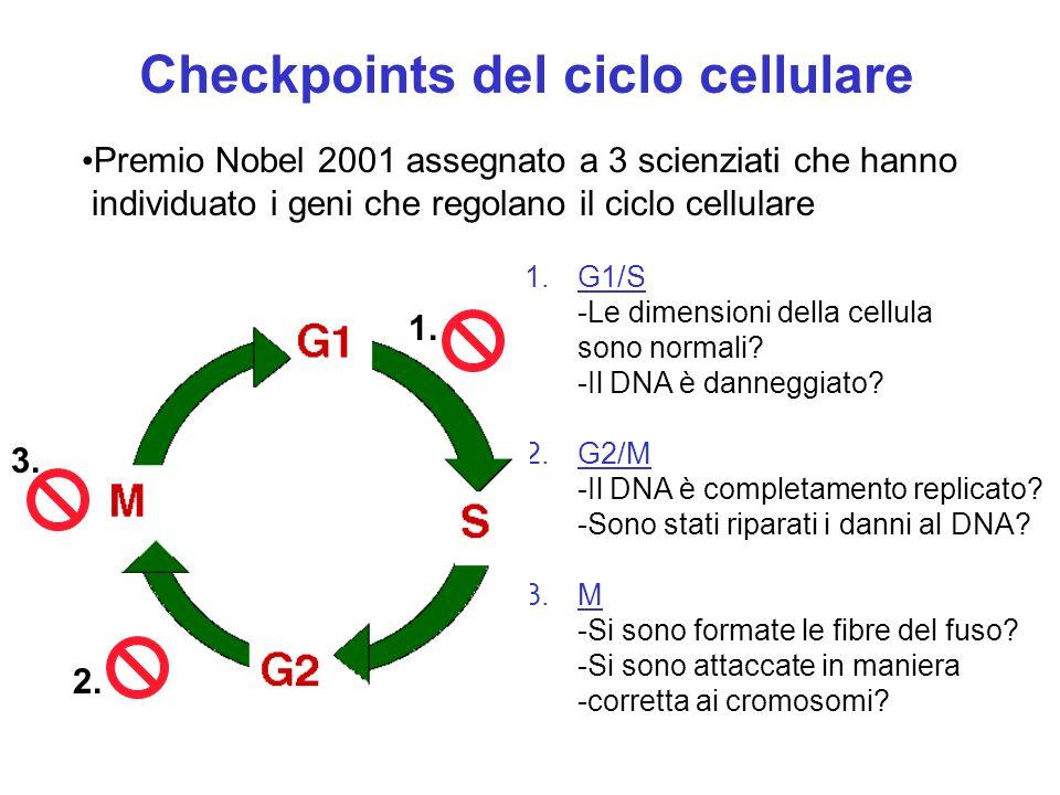 Checkpoints del ciclo cellulare 3. 1. G1/S -Le dimensioni della cellula sono normali? -Il DNA è danneggiato? 2. G2/M -Il DNA è completamento replicato