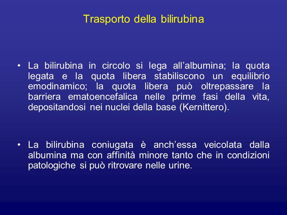 Trasporto della bilirubina La bilirubina in circolo si lega allalbumina; la quota legata e la quota libera stabiliscono un equilibrio emodinamico; la