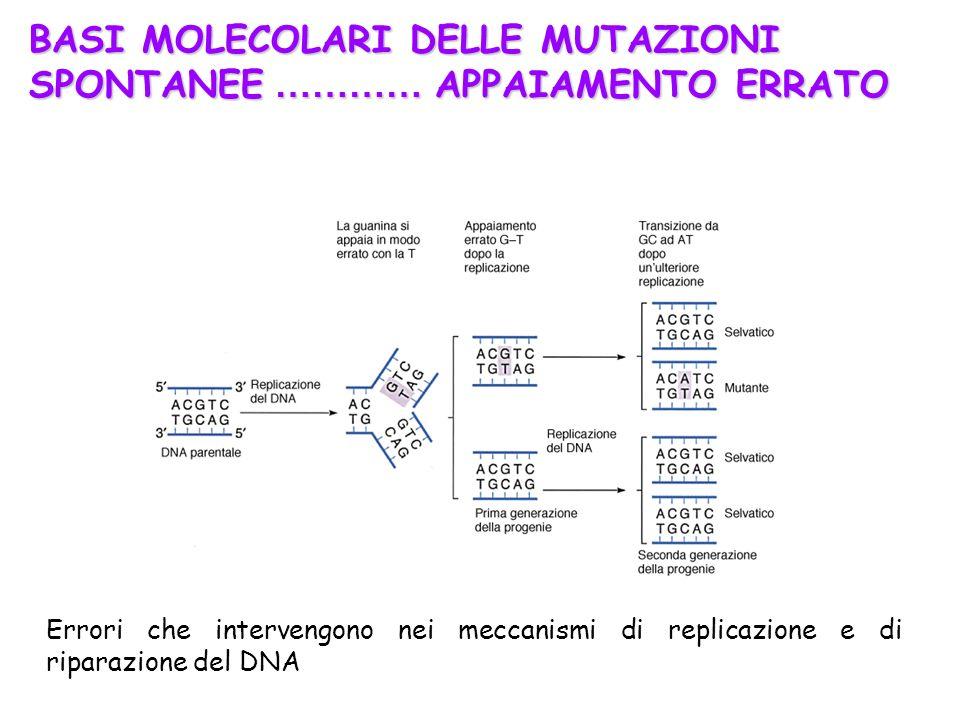 Errori che intervengono nei meccanismi di replicazione e di riparazione del DNA BASI MOLECOLARI DELLE MUTAZIONI SPONTANEE ………… APPAIAMENTO ERRATO