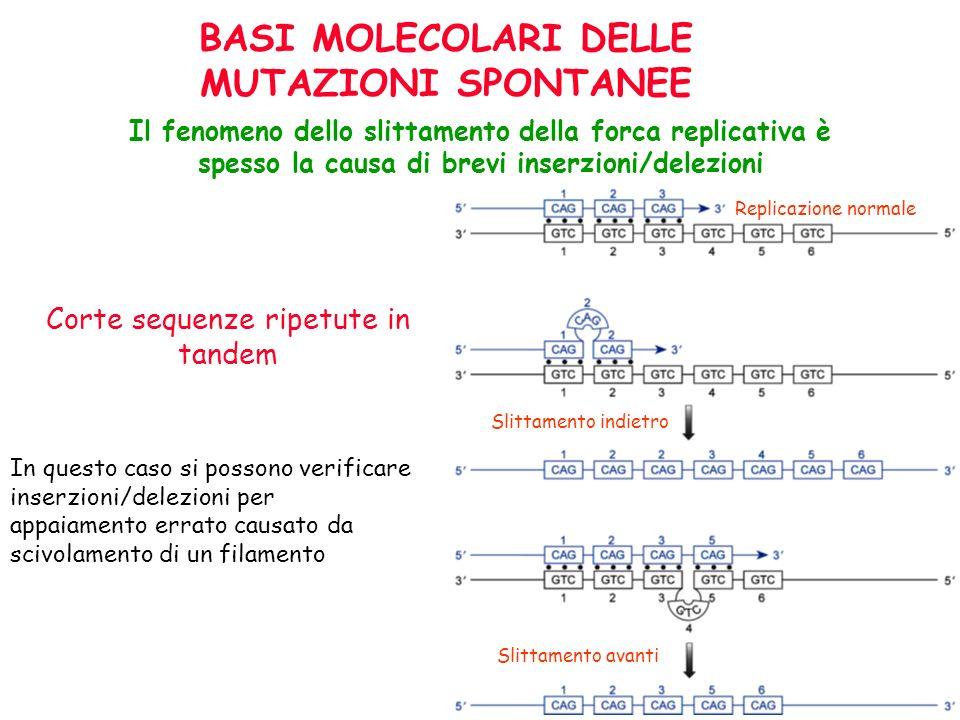 Corte sequenze ripetute in tandem In questo caso si possono verificare inserzioni/delezioni per appaiamento errato causato da scivolamento di un filam