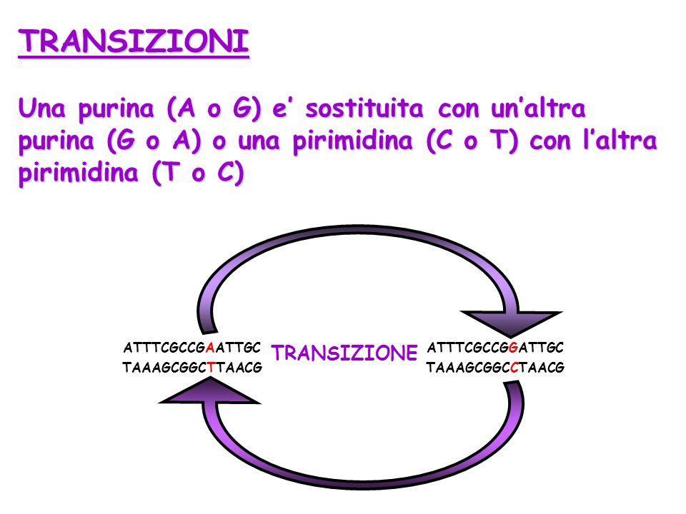 TRANSIZIONI Una purina (A o G) e sostituita con unaltra purina (G o A) o una pirimidina (C o T) con laltra pirimidina (T o C) ATTTCGCCGAATTGC TAAAGCGG