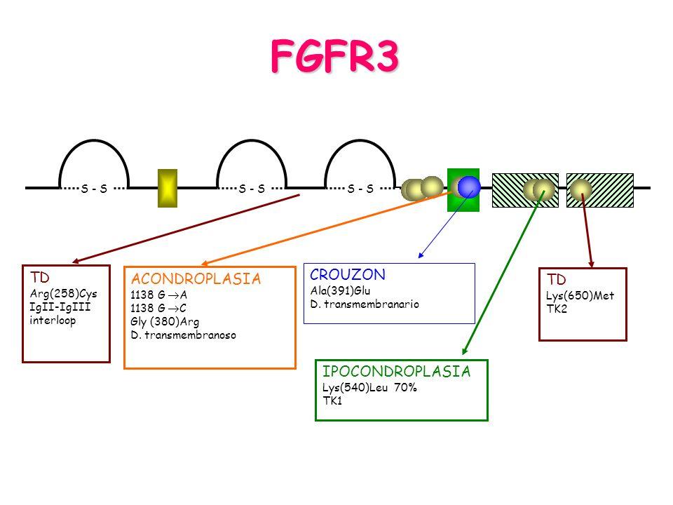 FGFR3 S - S CROUZON Ala(391)Glu D. transmembranario IPOCONDROPLASIA Lys(540)Leu 70% TK1 TD Lys(650)Met TK2 TD Arg(258)Cys IgII-IgIII interloop ACONDRO