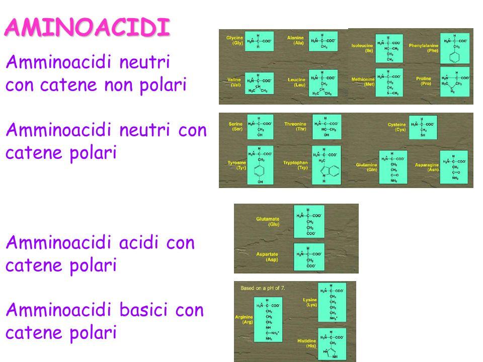 Amminoacidi neutri con catene non polari Amminoacidi neutri con catene polari Amminoacidi acidi con catene polari Amminoacidi basici con catene polari