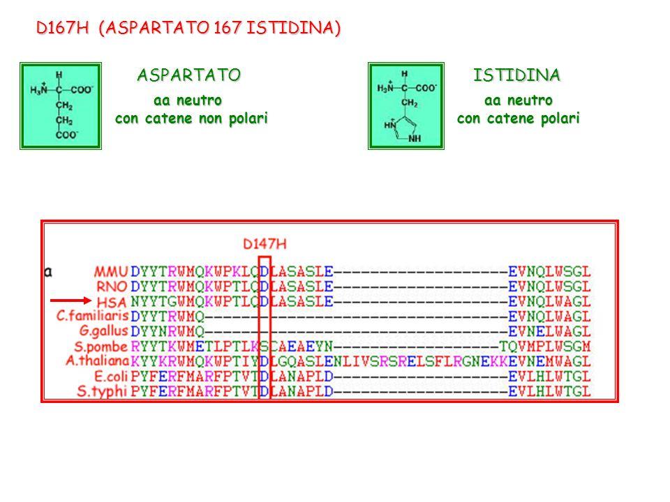 D167H (ASPARTATO 167 ISTIDINA) aa neutro con catene polari aa neutro con catene non polari ASPARTATOISTIDINA