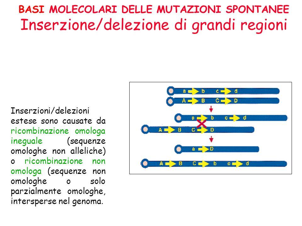 BASI MOLECOLARI DELLE MUTAZIONI SPONTANEE Inserzione/delezione di grandi regioni Inserzioni/delezioni estese sono causate da ricombinazione omologa in