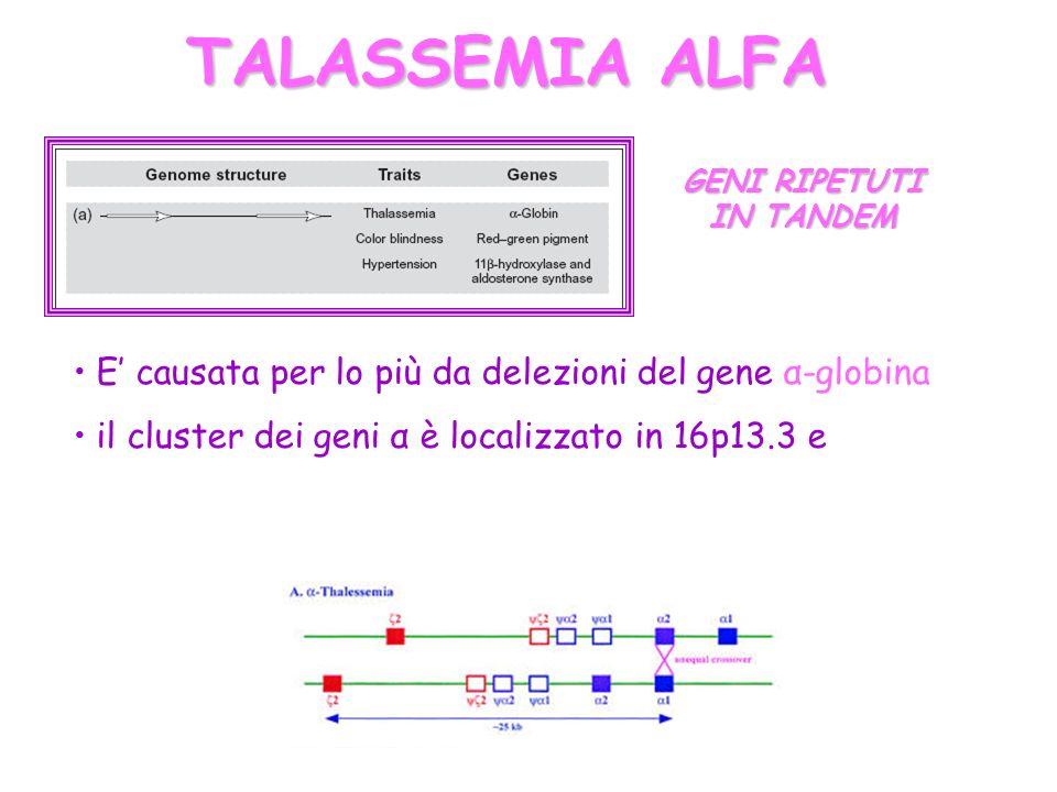 TALASSEMIA ALFA E causata per lo più da delezioni del gene α-globina il cluster dei geni α è localizzato in 16p13.3 e GENI RIPETUTI IN TANDEM
