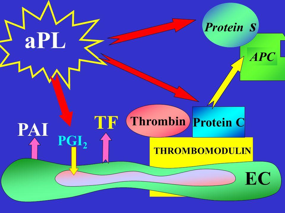 THROMBOMODULIN Thrombin Protein C APC Protein s TF PAI aPL PGI 2 EC