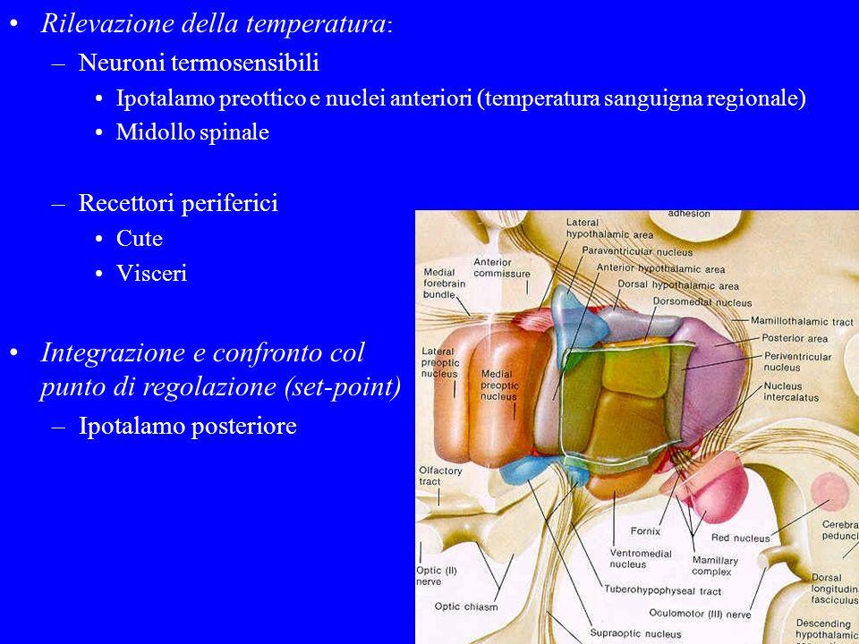 Rilevazione della temperatura : –Neuroni termosensibili Ipotalamo preottico e nuclei anteriori (temperatura sanguigna regionale) Midollo spinale –Rece