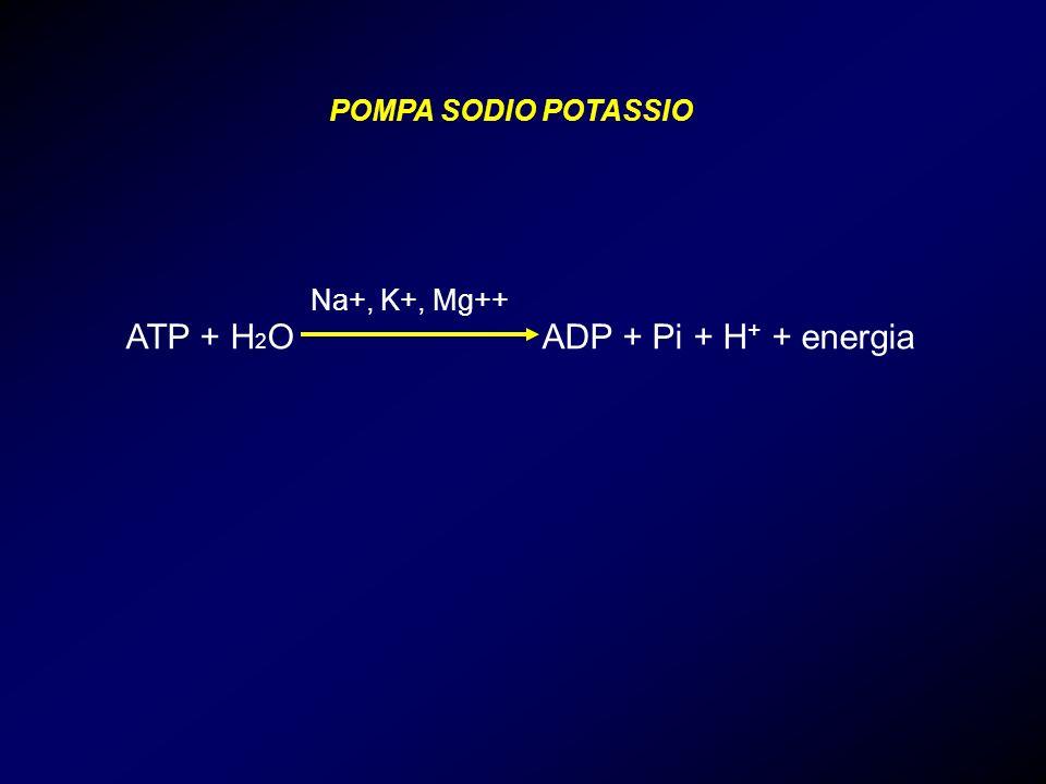 ATP + H 2 O ADP + Pi + H + + energia POMPA SODIO POTASSIO Na+, K+, Mg++