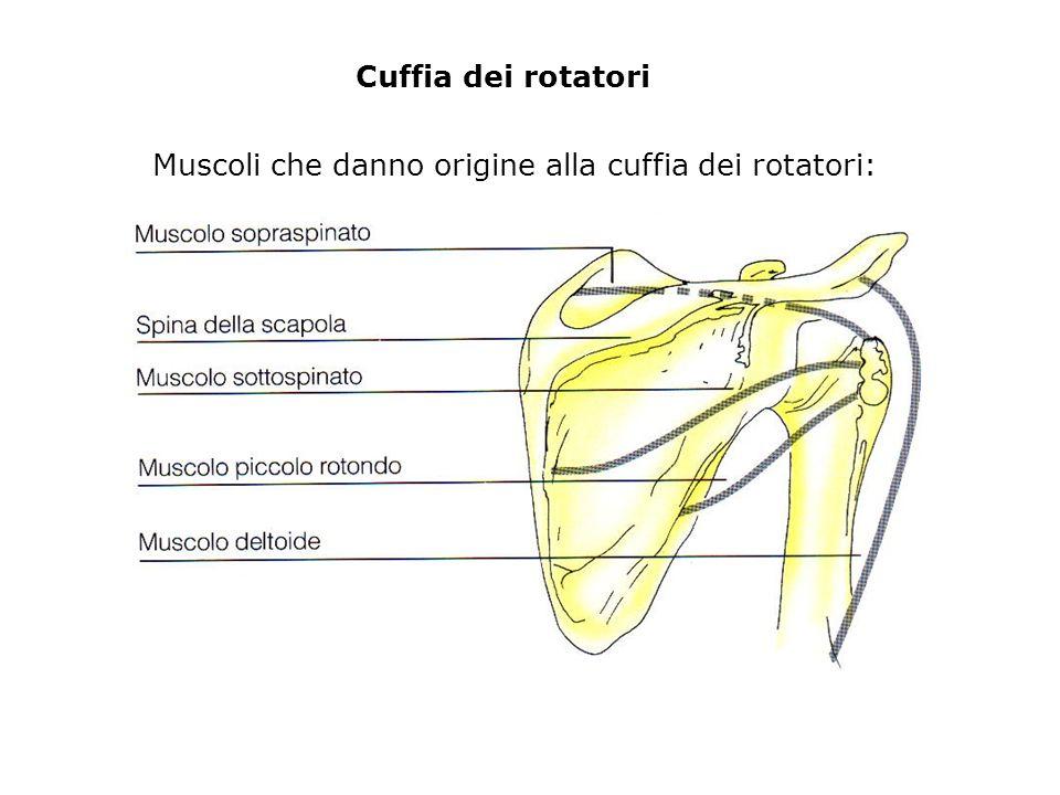 Cuffia dei rotatori Muscoli che danno origine alla cuffia dei rotatori: