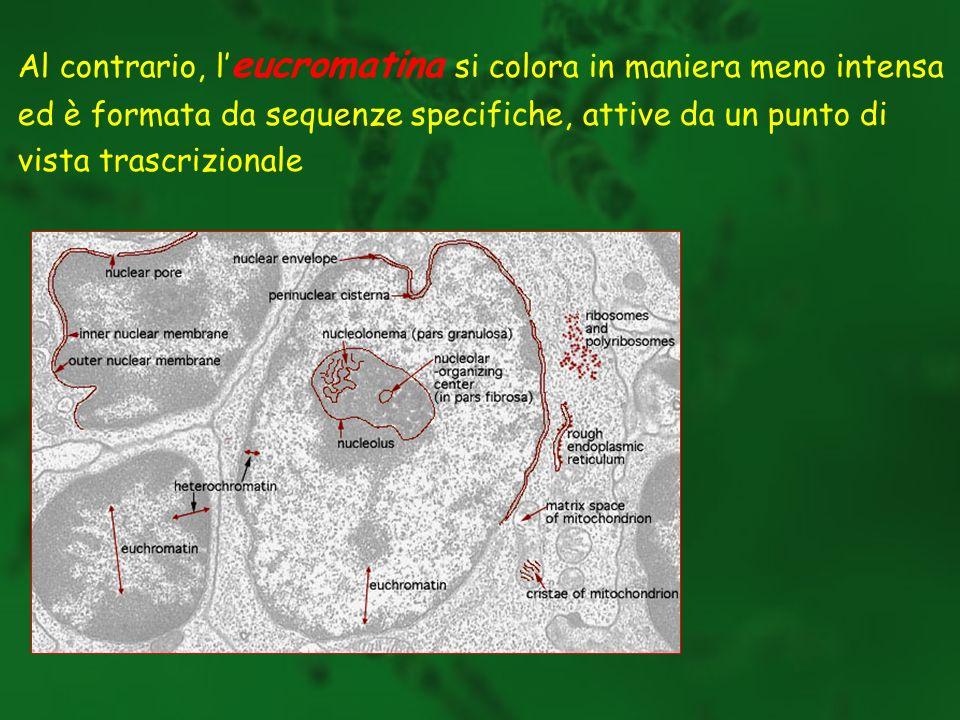 Al contrario, l eucromatina si colora in maniera meno intensa ed è formata da sequenze specifiche, attive da un punto di vista trascrizionale