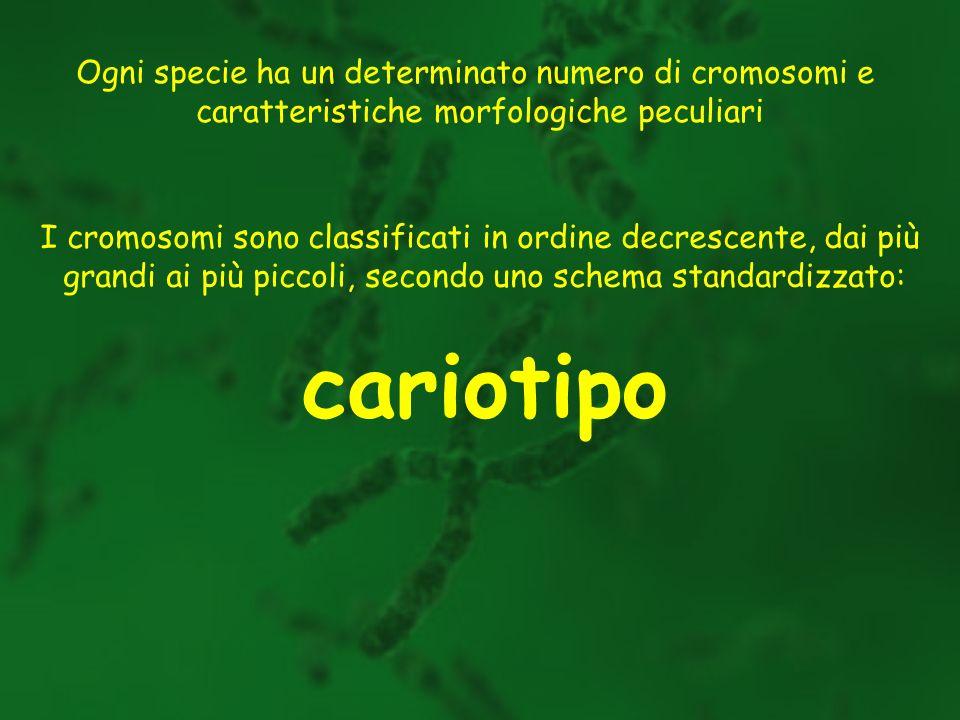 Ogni specie ha un determinato numero di cromosomi e caratteristiche morfologiche peculiari I cromosomi sono classificati in ordine decrescente, dai pi