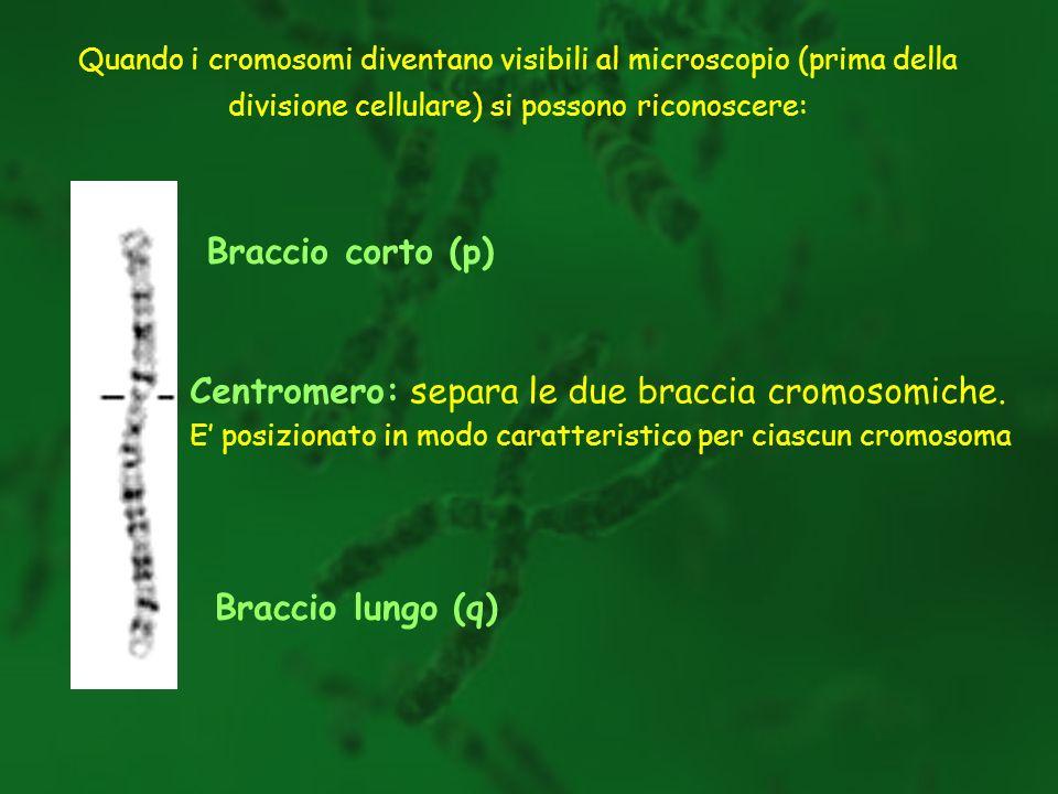 Quando i cromosomi diventano visibili al microscopio (prima della divisione cellulare) si possono riconoscere: Centromero: separa le due braccia cromo