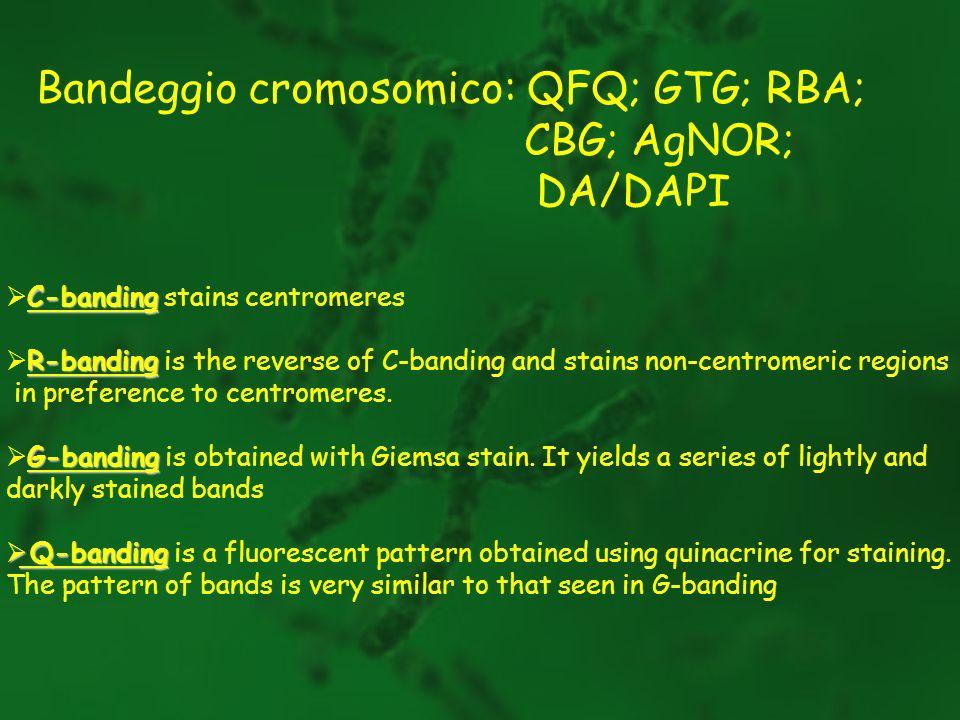 Bandeggio cromosomico: QFQ; GTG; RBA; CBG; AgNOR; DA/DAPI C-banding C-banding stains centromeres R-banding R-banding is the reverse of C-banding and s